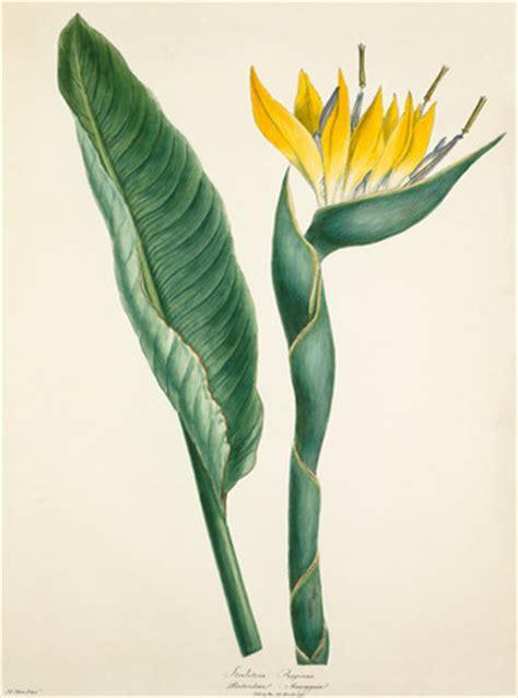 strelitzia reginae  margaret meen  royal horticultural