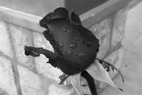 imagenes de rosas oscuras visiones aromatizadas de a 241 il enero 2013