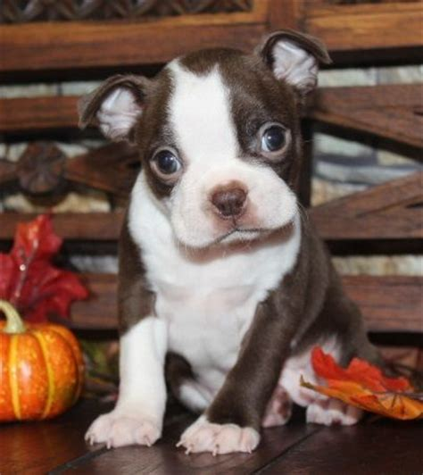 boston terrier puppies for sale in missouri the 25 best boston terrier breeders ideas on puppies with babies baby