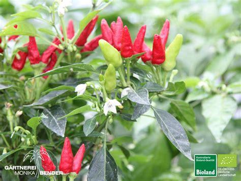 Original Candle Light Pepper chili capsicum annuum var pictures