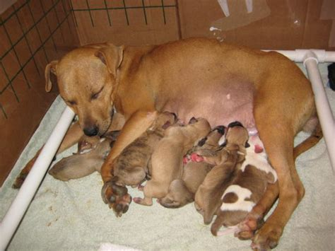 puppy pregnancy we rescued a