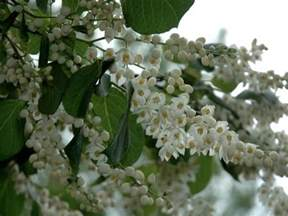 17 best images about small spring flowering trees on