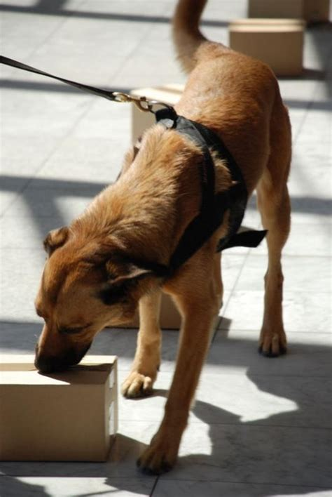 how to conceal drugs from a sniffer sniffer dogs to help catch dealers topnews arab emirates