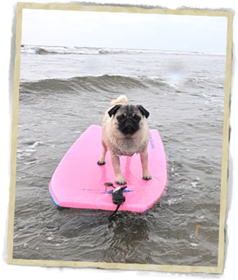 pug of the day pug of the day breeds picture
