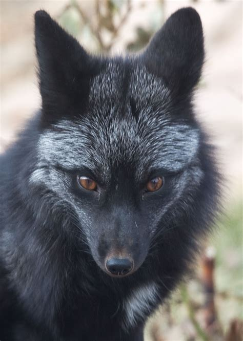 colors of foxes black fox colors of foxes animals beautiful animals fox