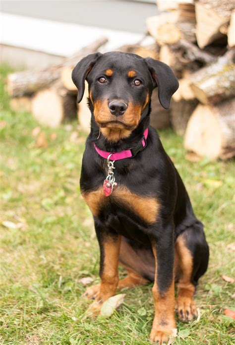 17 week rottweiler 21 best images on doggies and stuff