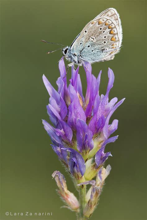 farfalla su fiore farfalla sul fiore juzaphoto