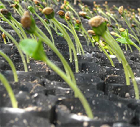 Bibit Buah Semangka definisi pembibitan tanaman dan cara menyediakan bibit