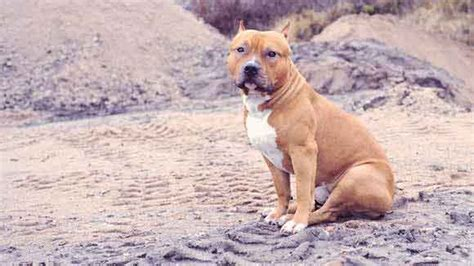 what to feed pitbull puppies pit bulll diet tips