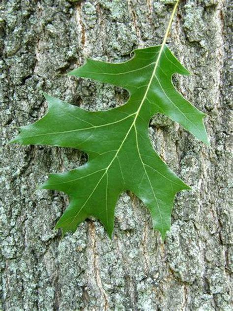 Black Oak Black White Oak Leaf