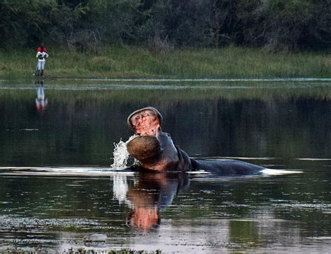big hippo chasing boat how hippo ended up living in the okavango delta africa