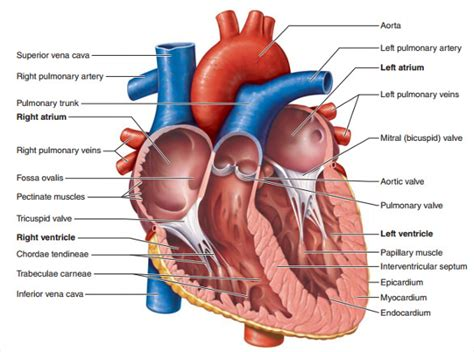 cardiac diagram 18 diagram templates sle exle format