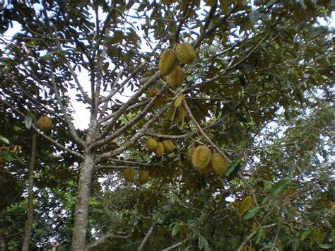 pengembangan kawasan komoditas hortikultura tanaman buah