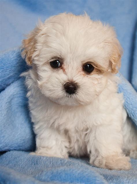 maltipoo puppies a random survey survey