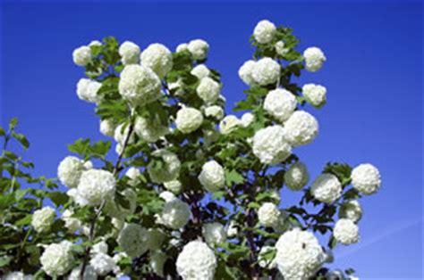 Winterharte Blumen Die Lange Blühen 120 schneeball viburnum pflanzen pflege schneiden