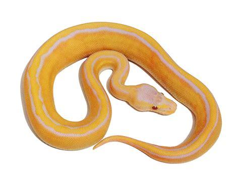 pastel lavender albino ball python