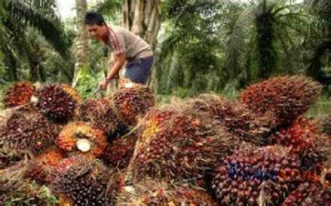 Jual Nes V Pekanbaru harga tbs cpo riau turun rp32 95 kg