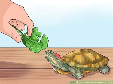 feed  turtle  steps  pictures
