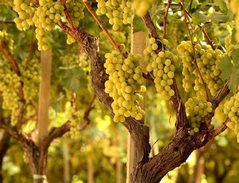 tipi di uva da tavola tipi di uva uva caratteristiche dei diversi tipi di uva