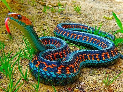 Garden Snake Size California Sided Garter Snake Coniferous Forest