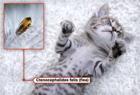 how to check for fleas how to check cat for fleas cats