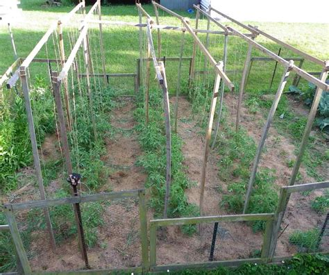 String Trellis Tomatoes growing tomato plants up a hanging string tomato trellis in the garden growing