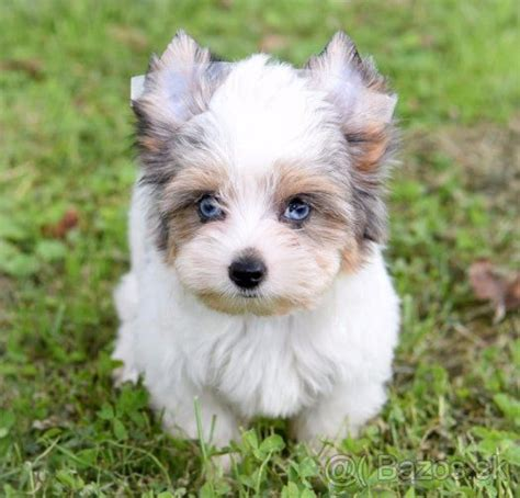 blue eyed yorkie 66 best images about biewer yorkie on