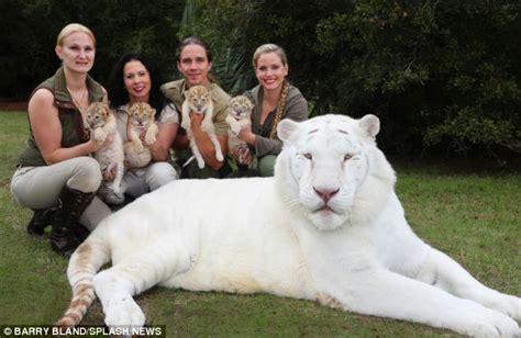 imagenes de leones raros un le 243 n blanco y una tigresa tuvieron cachorros y no