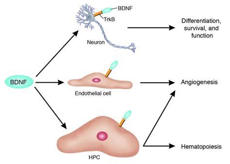 growth factor biology seotoolnet com