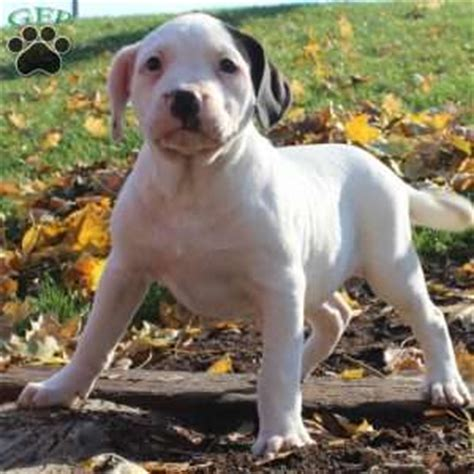 puppies for sale in pa 300 american bulldog puppies for sale greenfield puppies