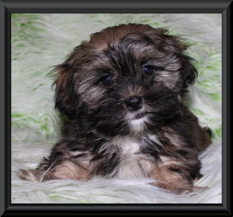 shih tzu puppies ottawa area teddy zuchon puppies shichon shih tzu bichon colours outside edmonton area