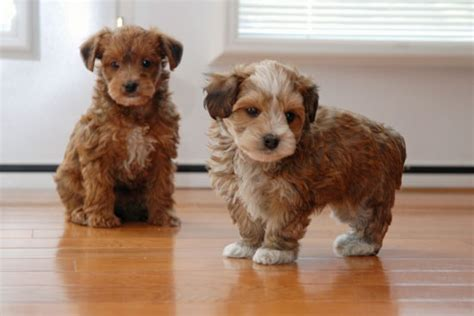 multi colored yorkies 39 best images about puppies on poodles yorkie and image search