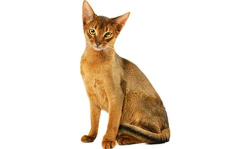 5 Of The Most Popular Cat Breeds Around The World   CatTime