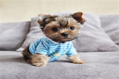 how do you a yorkie teacup yorkie pictures guides and facts about this small breed