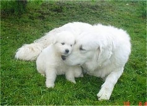 kuvasz puppy kuvasz breed information and pictures