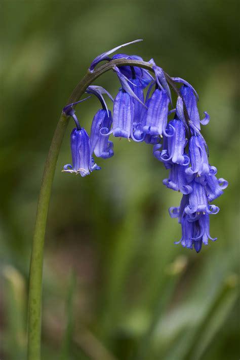 file hyacinthoides non scripta common bluebell jpg