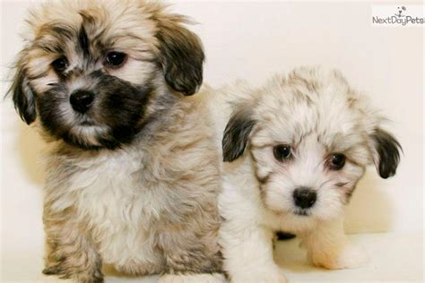 free havanese puppies for sale havanese puppy photos havanese puppy arizona havanese puppies for sale breeds