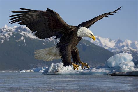 bald eagle wikipedia