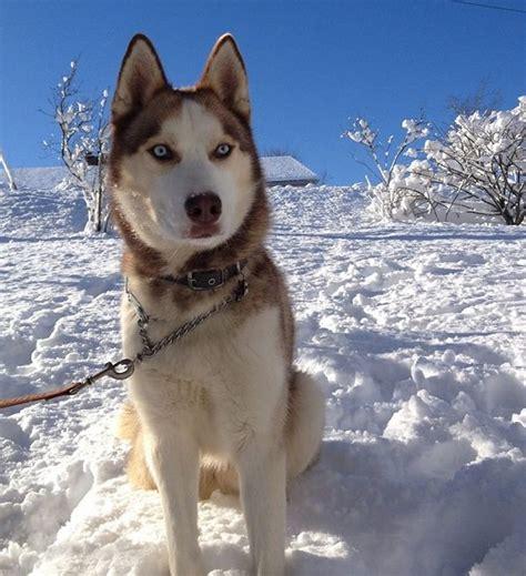 husky con occhi diversi siberian husky carattere aspetto e prezzo idee green