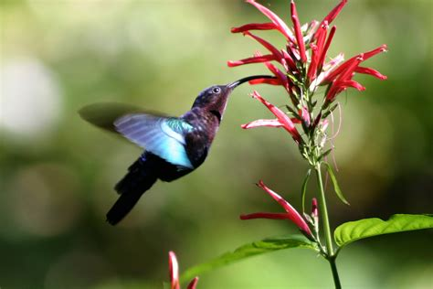 file purple throated carib hummingbird feeding jpg wikipedia
