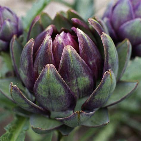 artichoke plants purple globe dobies