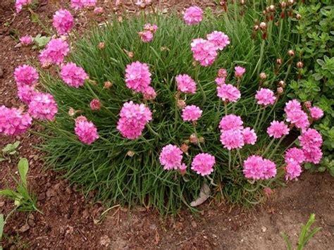 cespugli da giardino perenni pianta perenne piante perenni caratteristiche delle