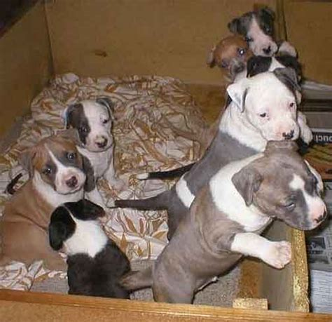 amstaff puppies for sale 301 moved permanently