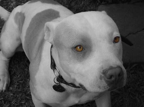 dog wallpaper spike and skull 10477 wallpaper walldiskpaper c 227 es os meus os seus os nossos pit bull