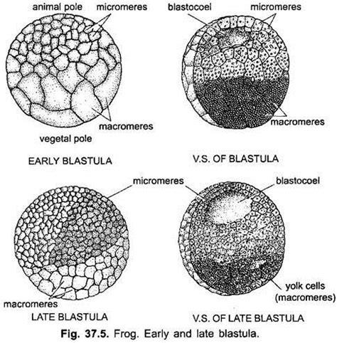 blastula diagram development of frog with diagram vertebrates