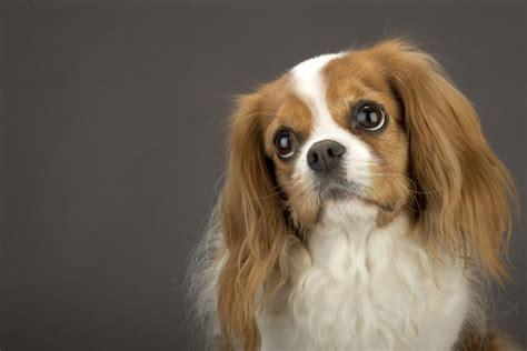 top dog breeds the best dog breeds for seniors