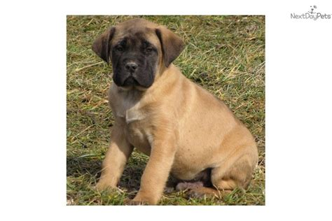 Do Mastiffs Shed by Dogs 101 Mastiff Breeds Picture