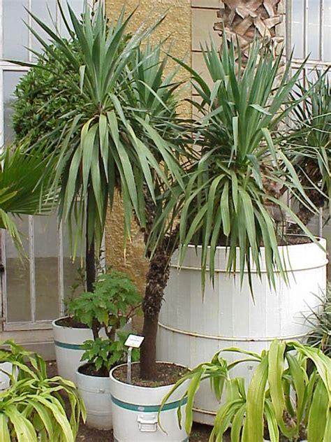 yucca palme für draußen yucca gloriosa