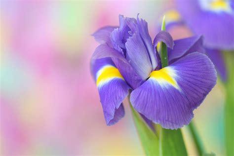 iris fiori iris il fiore della fiducia dell amicizia e della speranza