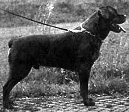 history of rottweilers rottweiler history